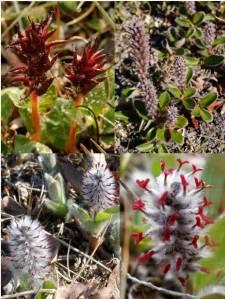 Salix Artica Females