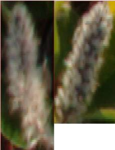 Similarity Between Male and Female Salix Artica.