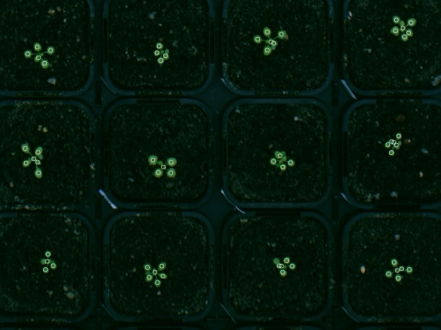 The circles mark the detected leaf centers. Some of the leafs of these plants are not detected because they don't translate into a detectable maximum in the distance transformation.